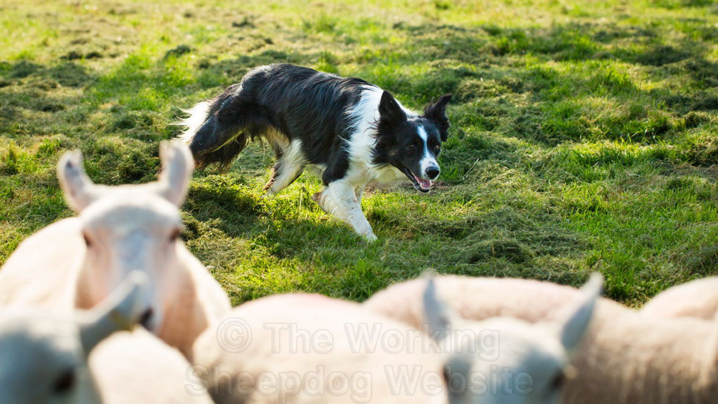 Fully trained sheepdog for sale - Dave