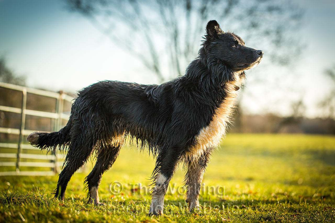 Sheepdog Remus standing up proud against the backdrop of a large ash tree