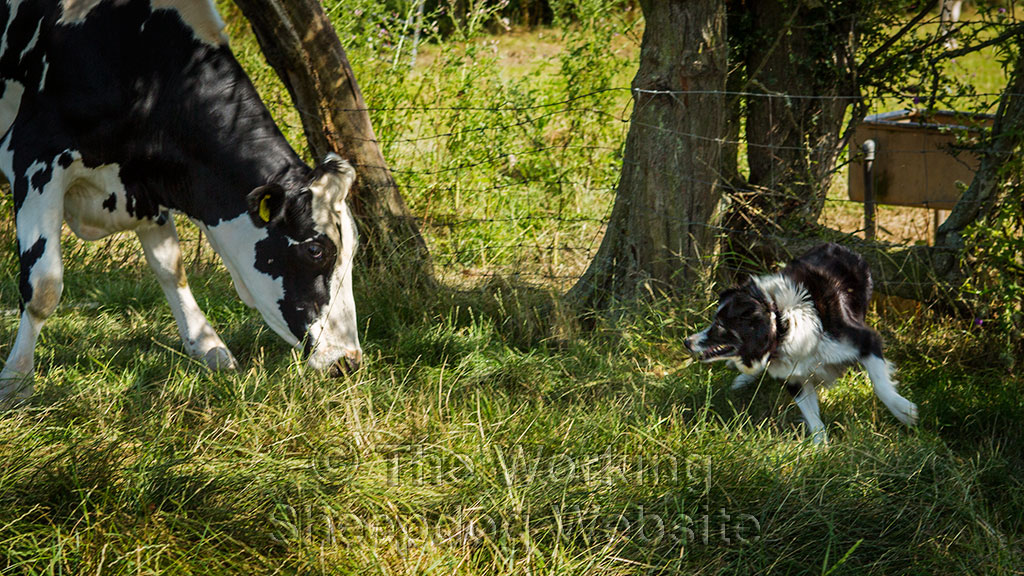 Sheepdog Carew shows determination when it comes to moving a stubborn heifer.