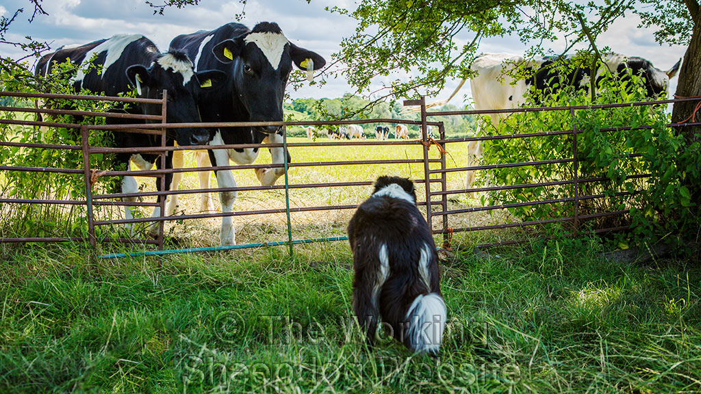 Sheepdog Carew facing two cattle which are looking back at her through the fence.
