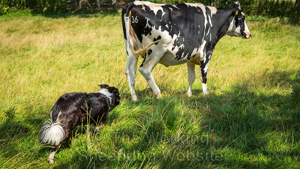 Sheepdog Carew learning to herd cattle