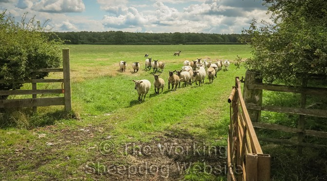 A lamb hangs back as the dog gathers the sheep can mean there's something wrong with the lamb
