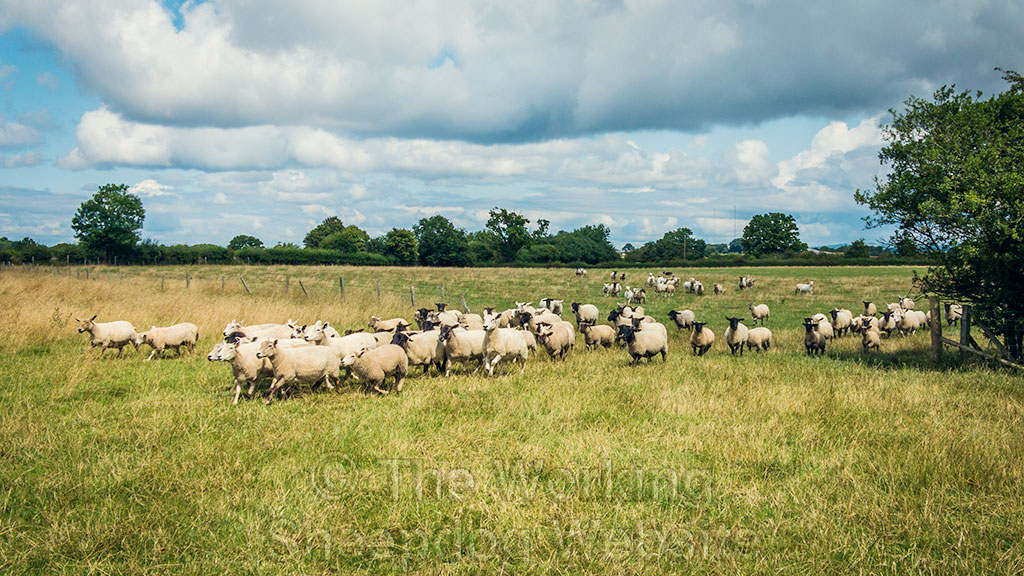 Sheepdog Kay gathering a small flock of ewes and lambs on a sunny day.