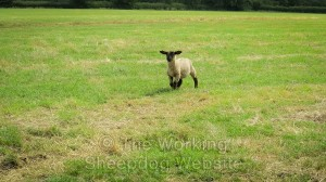 A lamb which has got left behind when gathering sheep.