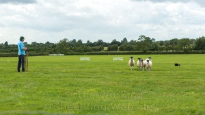 Sheepdog Carew in control of her sheep at the post in a sheepdog trial