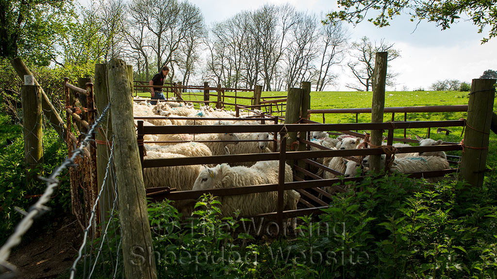 A young handler works in the holding pens at Penybont sheep dog trial