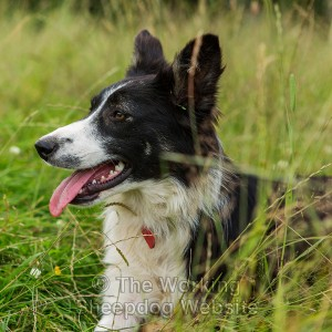 Close-up of Trainee sheepdog Gloria lying in the grass