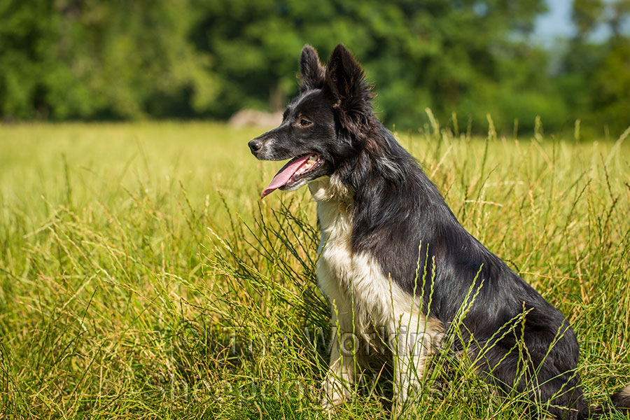 Prick-eared sheepdog sitting upright in the grass.