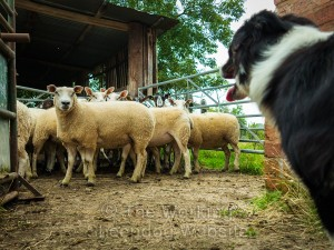 Carew facing a stubborn sheep in the yard