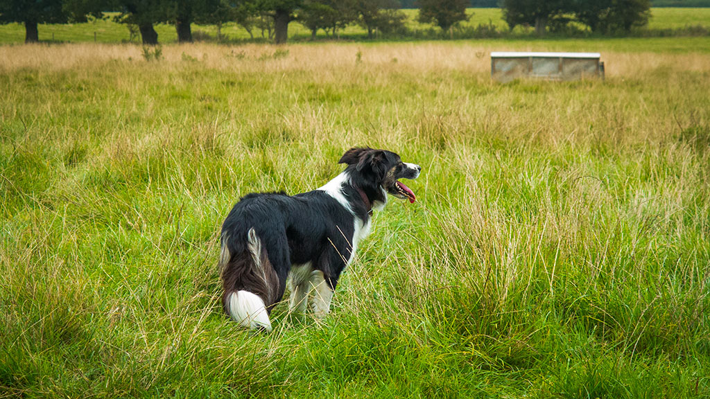 Photo of a sheepdog waiting to be sent off to gather sheep