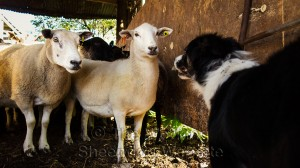 Two sheep staring at Carew in the buildings at Dean Farm