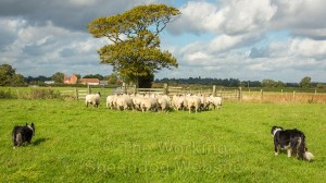 a small flock of sheep walking in front of two sheepdogs