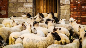 The sheep are trying to escape through an open door into the barn
