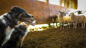 The ewes keep their distance as Carew and Kay keep watch over them in the handling pen