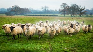Sheepdog Carew brings a small bunch of sheep our of the field on a cold misty morning