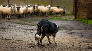 Sheepdog Carew watches the sheep in the yard