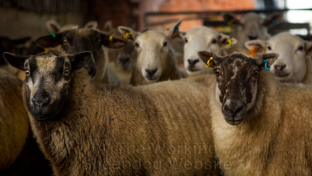 Attractive-looking sheep curiously gazing towards the camera