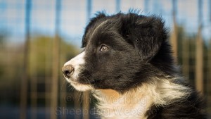 Black and white pretty collie puppy