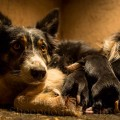 Mum looks more relaxed as the puppies scramble to feed