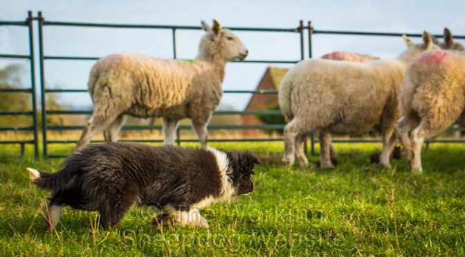 Border collie puppy, bred for work and already showing style and confidence