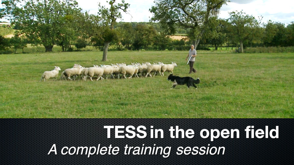 FREE herding dog training video