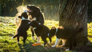 Herding dog with pups