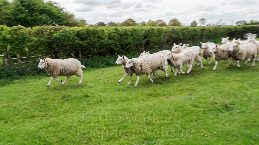 Sheep being brought into the pen for foot trimming and dagging