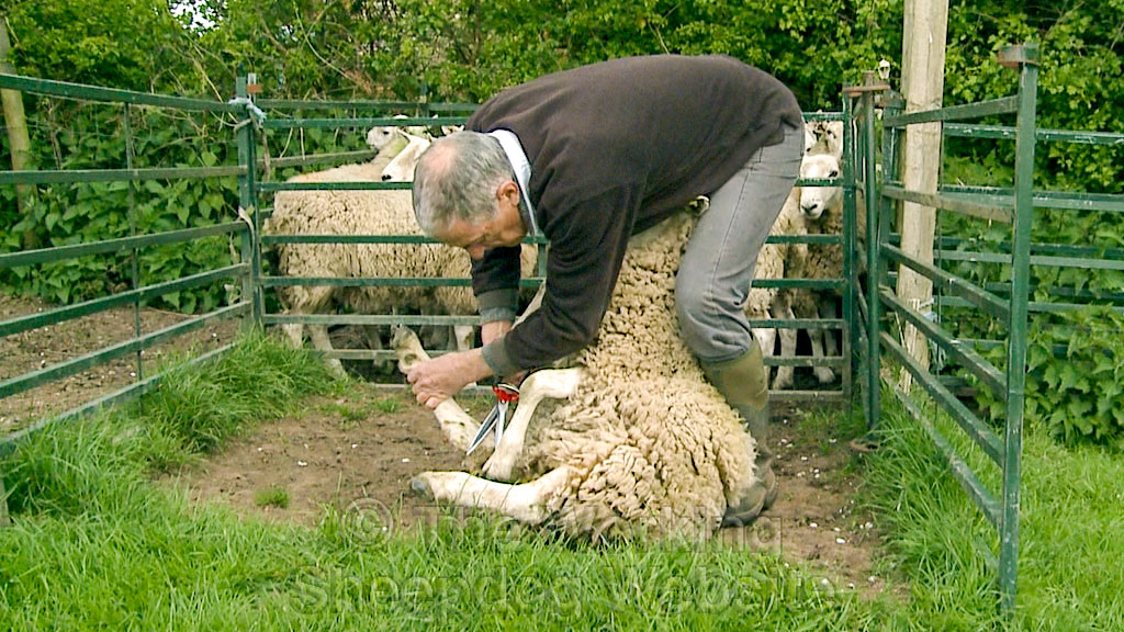 Dagging or trimming dirty wool from a sheep using Jakoti shears