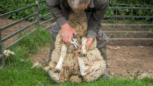 Sheep management - Foot trimming a sheep using clippers