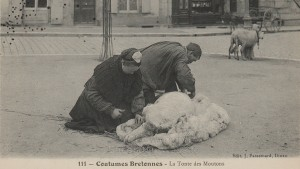Sheep management - a Breton couple shearing a sheep in the street