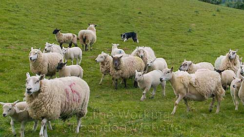 Ewes with lambs are often aggressive towards dogs. This one is standing up to Carew
