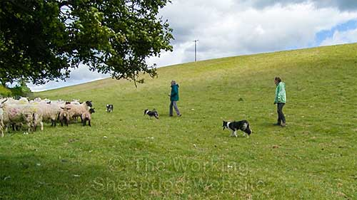 Carew, Kay and Mo herding the sheep into the pen