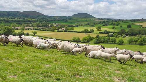 Sheep herding - the sheep running from a stock dog