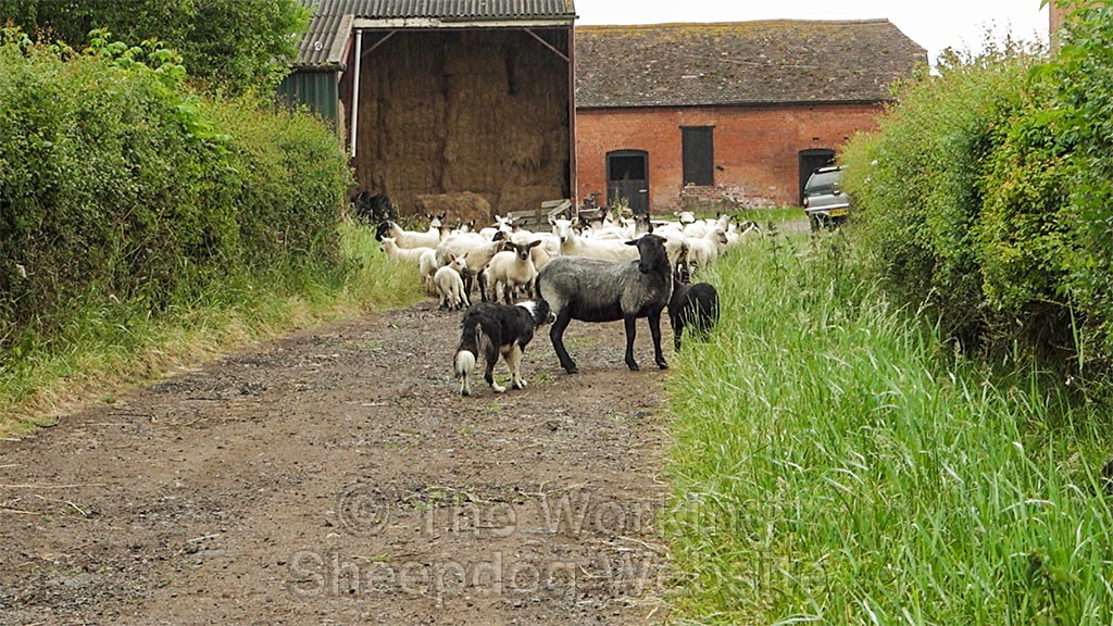 Herding dog Carew is challenged by a ewe which is defending its lamb