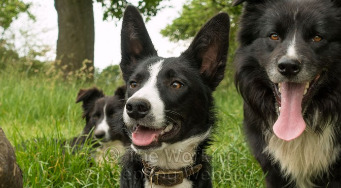 Sheepdog puppy Jet with her large ears upright