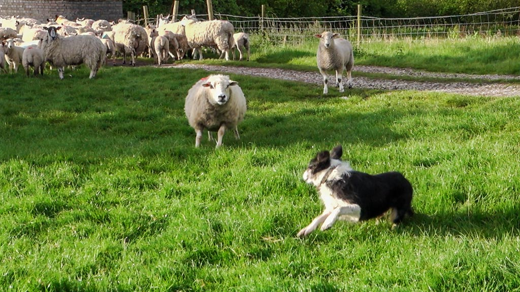 sheep attacking a herding dog