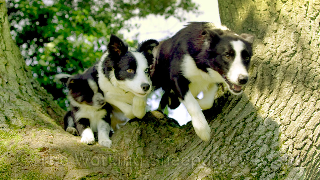 A puppy gets squished as the dogs leap through the fork in an oak tree