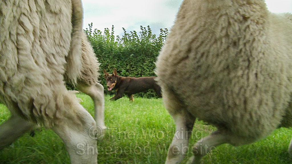 Young Kelpie learning to herd sheep