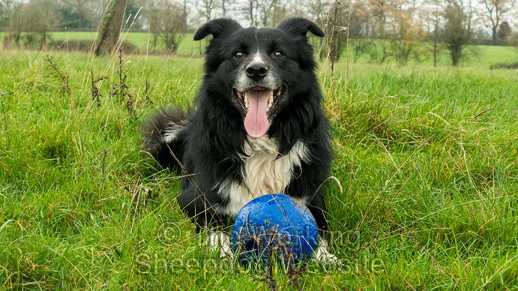Ezra with a ball. Some sheepdog trainers would condemn this but playing in moderation is fine