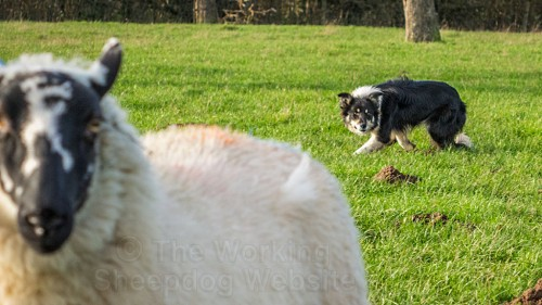 Bronwen keeping the sheep under control by maintaining the point of balance
