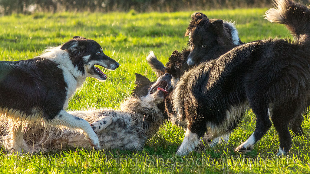 When the dogs are not working sheep, they love nothing more than a bit of play-fighting