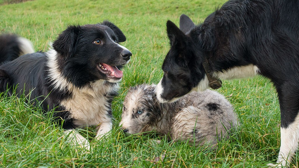Scylla, Merlin (the merle puppy) and Jet