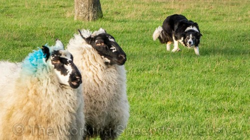 Carew at work with sheep
