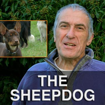Andy announces new tutorials for Kelpie sheep and cattle herding dogs