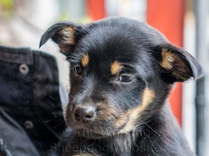 Closeup of Tucker. He's a black and tan Kelpie with lovely tan eyebrows