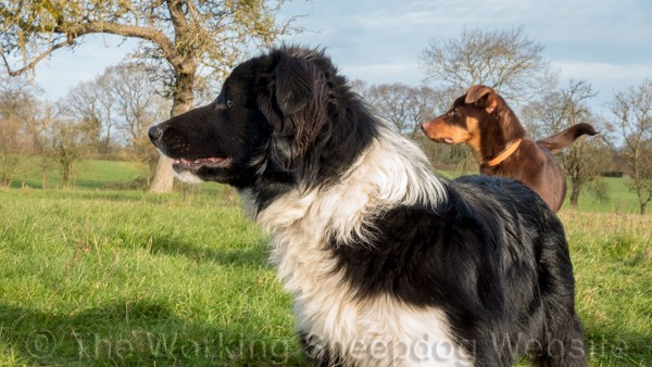 Border collie and kelpie dogs in the sunshine