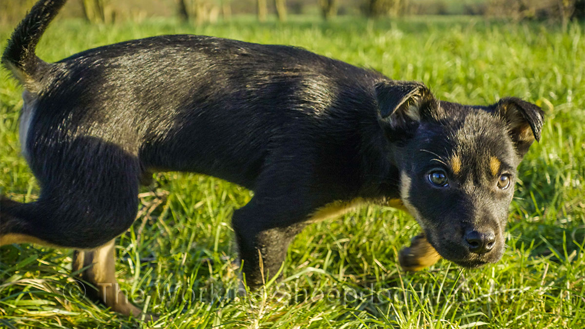 Australian Kelpie sheepdog puppy, looking stylish