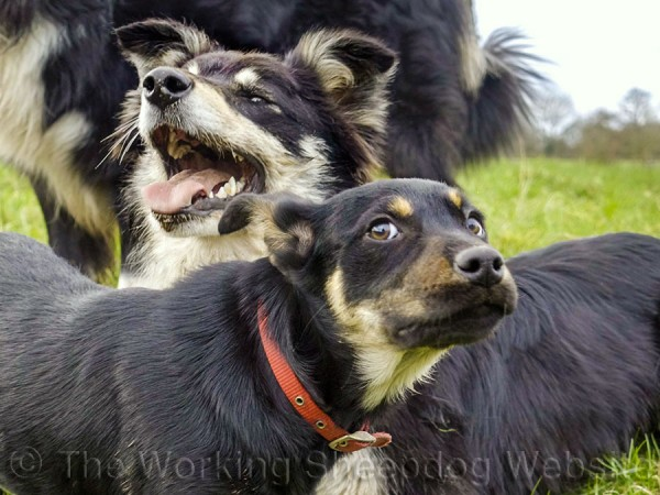 Tricolour rough coated Border collie with a black and tan Australian Kelpie puppy