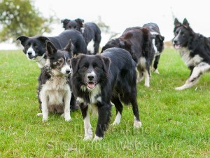 Seven border collie sheepdogs looking at the camera