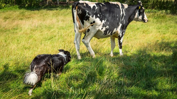 Border collie working with cattle